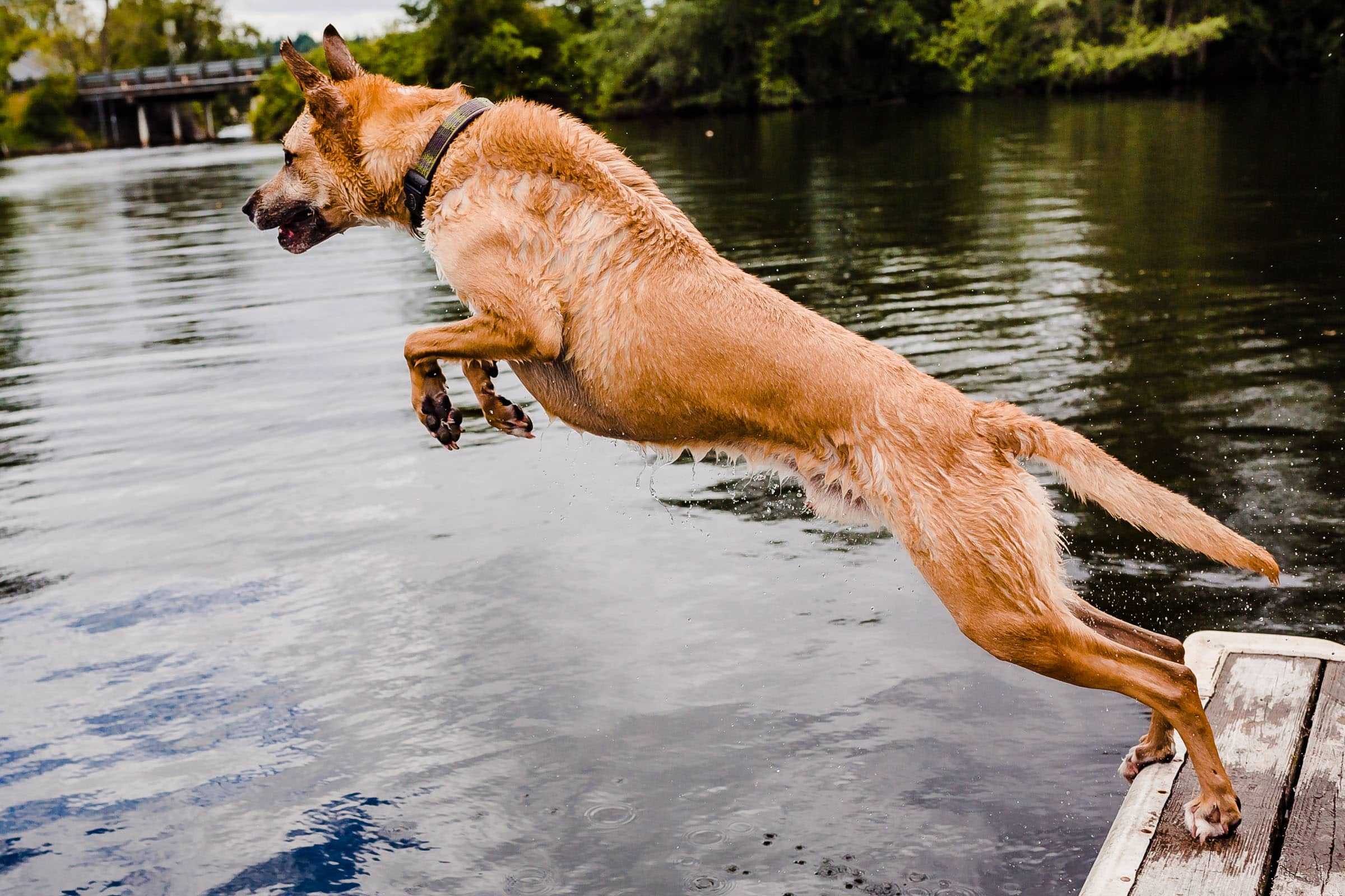 Dog playing fetch off a dock into the water before a Seattle Elopement